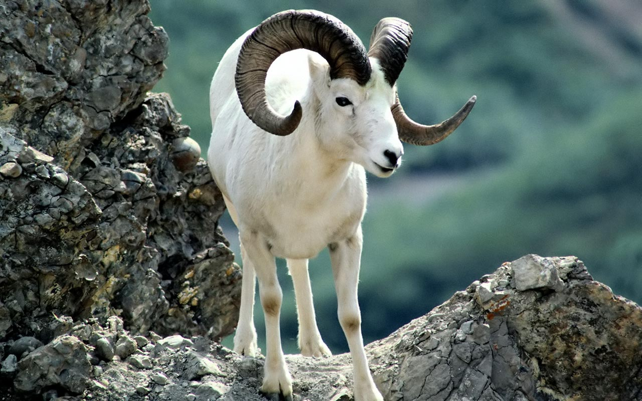 Argali Sheep. A prized trophy because of the level of difficulty in taking one.