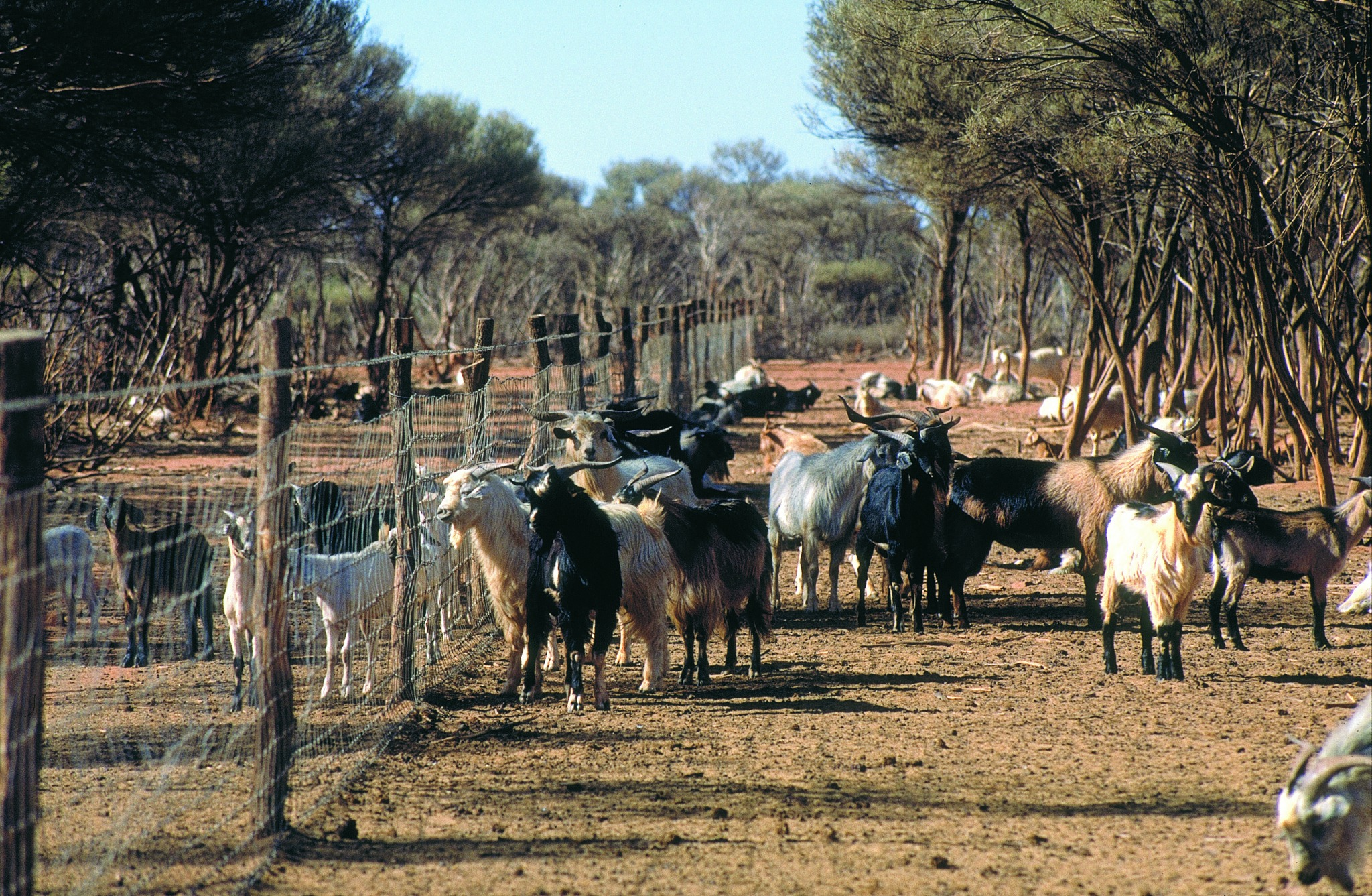 Feral goats Australia